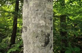 beech tree Michigan