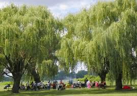 Willow trees Michigan