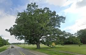 Oak trees in Michigan!